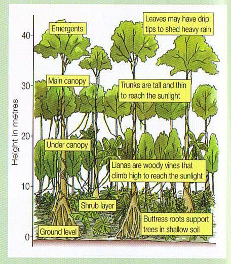 Rainforest Layers Research